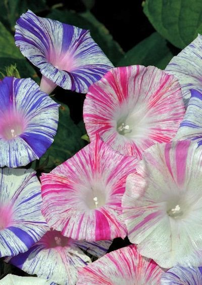 KIMIZA - 25+ CARNIVAL MIX MORNING GLORY IPOMOEA FLOWER SEEDS / SELF-SEEDING ANNUAL