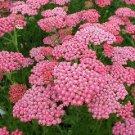 KIMIZA - 50 + Rosa Achillea / Milen branch Flower Seeds / Flowers Perennials / Resis tente
