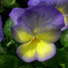 KIMIZA - New! 30 + Lavender / Yellow Viola Flower Seeds / Display Perennial Flowers