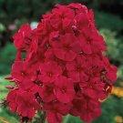 KIMIZA - NEW!! 30+ FRAGRANT RED PHLOX FLOWER SEEDS / SHADE PERENNIAL