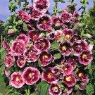 KIMIZA - 15+ CREME DE CASSIS HOLLYHOCK FLOWER SEEDS / PERENNIAL