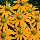 "KIMIZA - NEW! 30+ ""GREEN EYES"" RUDBECKIA FLOWER SEEDS/PERENNIAL"