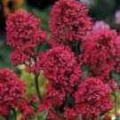 KIMIZA - 40+ RED JUPITER'S BEARD CENTRANTHUS FLOWER SEEDS / PERENNIAL