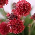 KIMIZA - 30+ RED ARMERIA FLOWER SEEDS / PERENNIAL / DEER RESISTANT