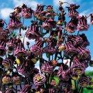 KIMIZA - 25+ COLUMBINE AQUILEGIA PLEATED BLACKBERRY FLOWER SEEDS / PERENNIAL