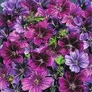 KIMIZA - 20+ MYSTIC MERLIN FLOWER SEEDS MIX MALVA / PERENNIAL