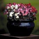 KIMIZA - 30+ GORGEOUS BEGONIA NIGHTLIFE MIX FLOWER SEEDS DEEP BRONZE LEAVES / ANNUAL