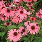 KIMIZA - 25+ PINK ECHINACEA/CONEFLOWER FLOWER SEEDS / PERENNIAL