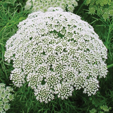 KIMIZA - 50+ AMMI QUEEN ANNE'S LACE FLOWER SEEDS / LONG LASTING ANNUAL