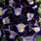 KIMIZA - 20+ DEEP BLUE TORENIA WISHBONE FLOWER SEEDS / LONG LASTING ANNUAL