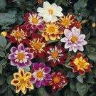 KIMIZA - 30+ DAHLIA COLLARETTE DANDY MIX FLOWER SEEDS / ANNUAL BI-COLOR