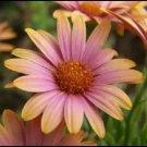 KIMIZA - 40+ SALMON COLOR AFRICAN DAISY FLOWER SEEDS / LONG LASTING ANNUAL