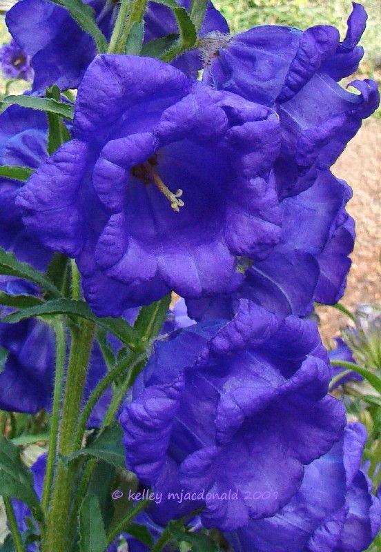 KIMIZA - 50+ CAMPANULA BLUE DOUBLE CANTERBURY BELLS PERENNIAL FLOWER SEEDS