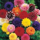 KIMIZA - 20+ DINNER PLATE DAHLIA MIX FLOWER SEEDS / EARLY BLOOMING BI-COLORS AND SOLIDS
