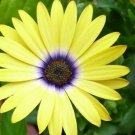KIMIZA - 40+ YELLOW COLOR AFRICAN DAISY FLOWER SEEDS / LONG LASTING ANNUAL