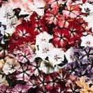 KIMIZA - 30+ STARRY EYES PHLOX MIX FLOWER SEEDS / SHADE PERENNIAL