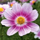KIMIZA - 35+ COSMOS HAPPY RING FLOWER SEEDS / LONG LASTING ANNUAL / DROUGHT TOLERANT