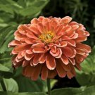 KIMIZA - NEW! 30+ GIANT SALMON COLOR ZINNIA FLOWER SEEDS / ANNUAL / LONG LASTING