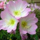 KIMIZA - 50+ PURE PINK EVENING PRIMROSE FLOWER SEEDS / PERENNIAL