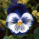 KIMIZA - NEW! 35+ BLUE PANSY JOKER FLOWER SEEDS / ANNUAL