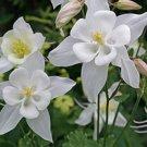 KIMIZA - 25+ WHITE STAR MIX AQUILEGIA / COLUMBINE FLOWER SEEDS / PERENNIAL