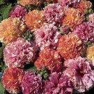 KIMIZA - 30+ ALCEA DOUBLE HOLLYHOCK FRUITY MIX FLOWER SEEDS / PERENNIAL