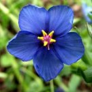 KIMIZA - 60+ ANAGALLIS BLUE PIMPERNEL FLOWER SEEDS / PERENNIAL