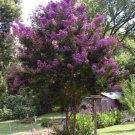 KIMIZA - 35+ PURPLE CRAPE MYRTLE TREE / SHRUB / FLOWER SEEDS / DROUGHT TOLERANT PERENNIAL