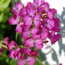 KIMIZA - 50+ PINK / FUSHIA DAMES ROCKET FLOWER SEEDS / PERENNIAL