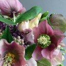 KIMIZA - 15+ ROSE HELLEBORUS CHRISTMAS ROSE FLOWER SEEDS / WINTER BLOOMING PERENNIAL