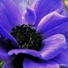 KIMIZA - 20+ ANEMONE PURPLE PERENNIAL FLOWER SEEDS