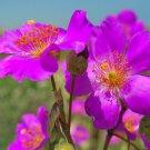 "KIMIZA - 30+ CISTANTHE GRANDIFLORA ""BRIGHTNESS"" SILKY PERENNIAL FLOWER SEEDS"