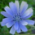 KIMIZA - 100+ CHICORY BRILLIANT BLUE DAISY-LIKE PERENNIAL FLOWER SEEDS / GREAT GIFT