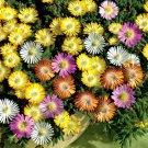 KIMIZA - 50+ ICE PLANT FLOWER SEEDS MIX / PERENNIAL