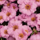KIMIZA - 50 + Meridiana Rosa Portulaca Musk Seeds Annual Ground-Cover of Flowers