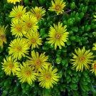 KIMIZA - 50+ DOROTHEANTHUS BELLIDIFORMIS YELLOW ICE PLANT FLOWER SEEDS / PERENNIAL