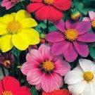 KIMIZA - NEW! DAHLIA MIGNON FLOWER SEEDS MIX
