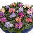 KIMIZA - New! 15 + Acaulis Mix Primrose Flower Seeds Perennial Flowers