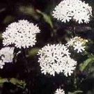 KIMIZA - 30+ LYCHNIS HEIRLOOM WHITE MALTESE CROSS FLOWER SEEDS PERENNIAL DEER RESISTANT