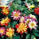 KIMIZA - 30+ DAHLIA HARLEQUIN MIX FLOWER SEEDS / EARLY BLOOMING BI-COLOR