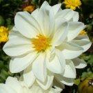 KIMIZA - NEW! 15+ PURE WHITE DAHLIA FLOWER SEEDS MIGNON