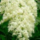 KIMIZA - 25+ CHINESE SORBARIA TREE SEEDS / FLOWERS SHRUBS TREES / PERENNIAL