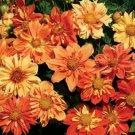 KIMIZA - 30+ DAHLIA COLLARETTE SUNNY REGGAE MIX FLOWER SEEDS / ANNUAL BI-COLOR