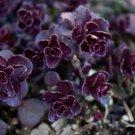 KIMIZA - 50+ SEDUM SPURIUM VOODOO PERENNIAL FLOWER SEEDS / RABBIT RESISTANT