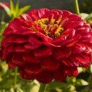 KIMIZA - NEW! 35+ GIANT RED ZINNIA FLOWER SEEDS / LONG LASTING CUT FLOWERS / DEER RESIST