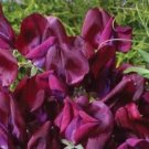KIMIZA - 30 + Maroon Most Fragrant Garden Vetch Flower Seeds / La thyrus
