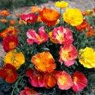 KIMIZA - 50+ BI-COLOR CALIFORNIA MISSION BELLS FLOWER SEEDS