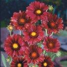 KIMIZA - 30+ BURGANDY SILK GAILLARDIA FLOWER SEEDS / PERENNIAL