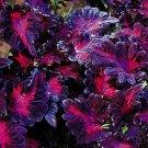 KIMIZA - 50+ COLEUS BLACK DRAGON SHADE LOVING FLOWER SEEDS / LONG LASTING ANNUAL