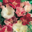 KIMIZA - 75+ CLARKIA MIX FLOWER SEEDS / RESEEDING LONG LASTING ANNUAL